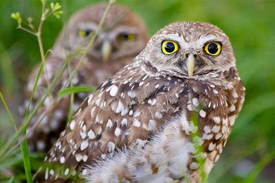 Burrowing Owls, Piccolo Park, Pembroke Pines, Fla., July 2014.
