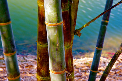 Bamboo, Fruit and Spice Park, Homestead, Fla., March 2, 2014.