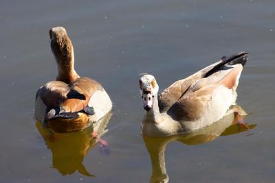 Egyptian Geese, Pembroke Pines, Fla., February 2015.