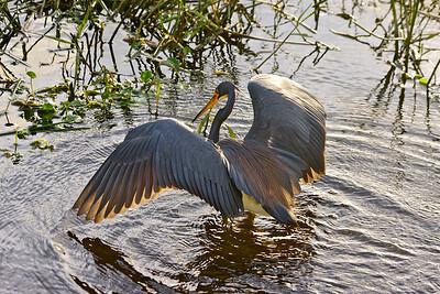 Tri-colored Heron, Green Cay Wetlands, Boynton Beach, Fla., January 2015.