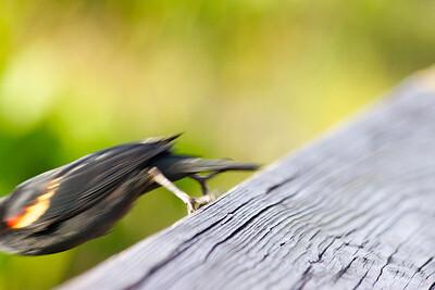 Red-winged Blackbird, Green Cay Wetlands, Boynton Beach, Fla., January 2015.