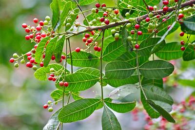 """Christmas Lights."" Florida Holly berries, Tree Tops Park, Davie, Fla., November 2014."