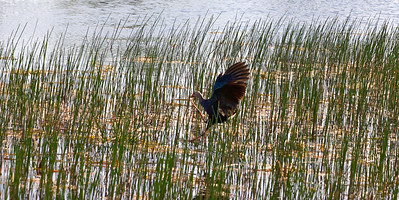 A swamphen comes in for a landing. Chapel Trail Nature Preserve, June 2014.