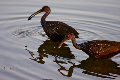 Two limpkins fish for snails one evening, One of them got lucky in this shot. Pembroke Pines, Fla.. December 2014.
