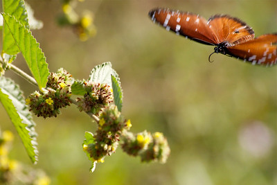 Queen Butterfly, Long Key Natural Area & Nature Center, Davie, Fla., November 2014.
