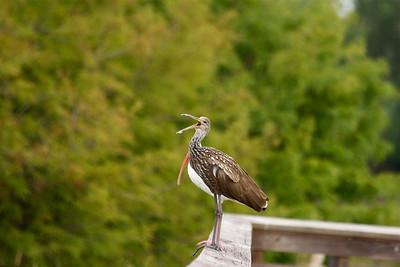 Limpkin and Ibis, Green Cay Wetlands, Boynton Beach, Fla., October 2014.