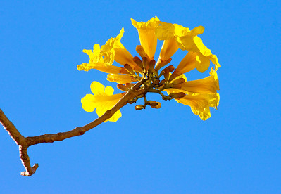 Flowers of the Golden Trumpet Tree