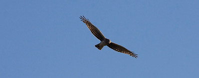 I have been trying for *months* to capture this Northern Harrier.... not there yet, but it's getting closer!