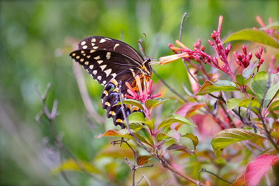 Swallowtail butterfly, Long Key Nature Preserve, Davie, Fla., July 2014.