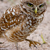 Burrowing Owl,  Pembroke Pines, Fla., May 13, 2o14.