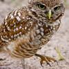 Burrowing Owl,  Pembroke Pines, Fla., May 13, 2o14.