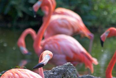Caribbean Flamingos, Flamingo Gardens, Davie, Fla., September 2014.
