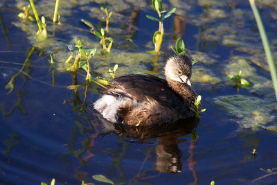 Grebe,  Green Cay Wetlands, Boynton Beach, Fla., March 9, 2014