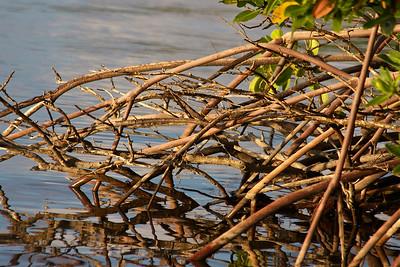 Mangroves, Anne Kolb Nature Center, Hollywood, Fla., November 2014.