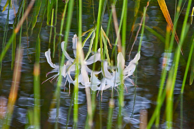 Reflection of swamp lilies, Tree Tops Park, Davie, Fla., July 2014.