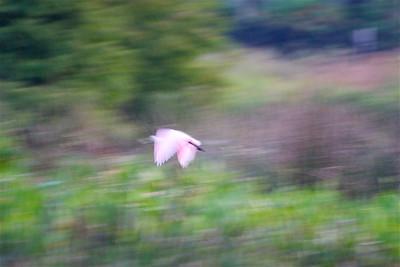 Roseate Spoonbill in flight, Green Cay Wetlands, Boynton Beach, Fla., October 2014.