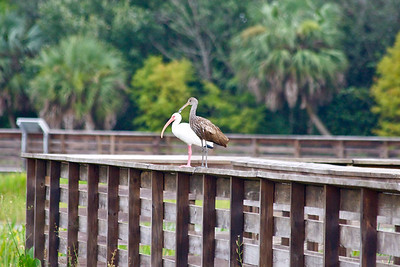 A Limpkin and Ibis hang out on the boardwalk at Green Cay Wetlands, Boynton Beach, Fla., October 2014.