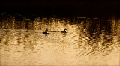 Grebes, Evening, Pembroke Pines, Fla., November 2014.