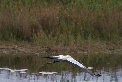 Juvenile wood stork, Pembroke Pines, Fla., November 2014.