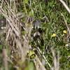 (Roll-up-on-the=photog) raccoon, Long Key Nature Preserve,  Davie, Fla., May 2015.