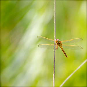 Dragonfly, Long Key Nature Preserve, Davie, Fla., July 2014.