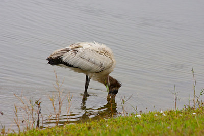This is where the juvenile wood stork landed after flying away... so the photog just followed it. There was another juvenile wood stork nearby.