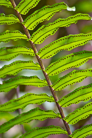 Fern Forest, Coconut Creek, Fla., March 2015.