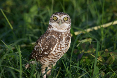 Burrowing Owl, Tree Tops Park, Davie, Fla., August 2014.