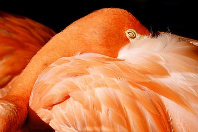 Caribbean Flamingo, Flamingo Gardens, Davie, Fla., September 2014.