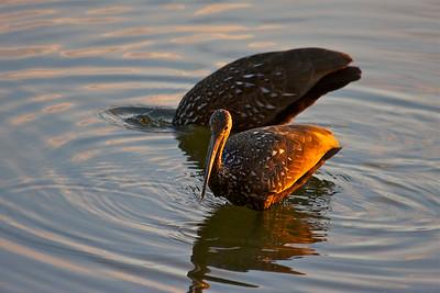 Two limpkins fish for snails one evening, Pembroke Pines, Fla.. December 2014.