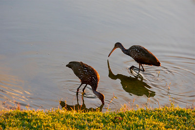 Two limpkins fish for snails one evening, Pembroke Pines, Fla.. December 2014.