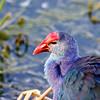 Purple Swamp Hen, Green Cay Wetlands, Boynton Beach, Fla., March 9, 2014.