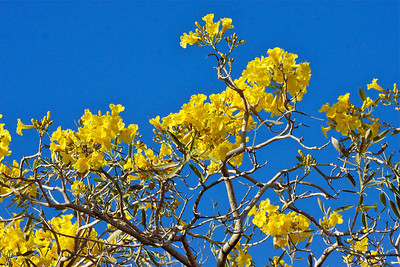 The Golden Trumpet Tree
