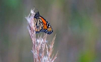Monarch butterfly, Long Key Natural Area and Nature Center, Davie, Fla., November 2014.
