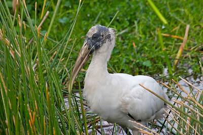 Wood stork, Wakodahatchee Wetlands, Delray Beach, Fla., January 2015.