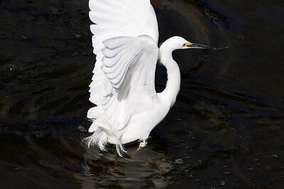 Snowy Egret, Wakodahatchee Wetlands, Delray Beach, Fla., January 2015.