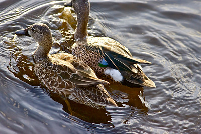 Blue-winged teal ducks, Green Cay Wetlands, Boynton Beach, Fla., January 2015.
