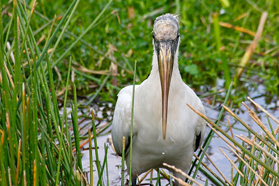 Wood stork , Wakodahatchee Wetlands, Delray Beach, Fla., January 2015.