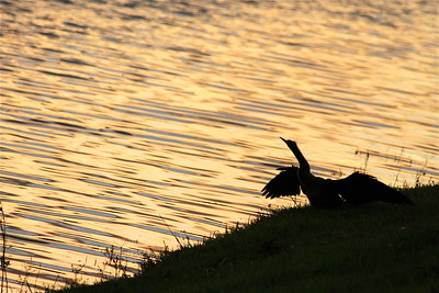 An anhinga reflects on the first day of winter, Dec. 21, 2013.