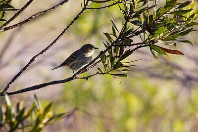 Warbler, Chapel Trail Nature Preserve, Pembroke Pines, Fla., February 2015.