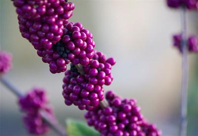 Beautyberries, Long Key Natural Area & Nature Center, Davie, Fla., November 2014.