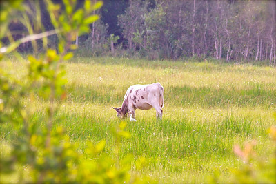 A cow and a bird hang out in an open field next to Chapel Trail Nature Preserve, Pembroke Pines, Fla., July 2014.