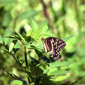 Swallowtail Butterfly, Long Key Nature Preserve, July 2014.