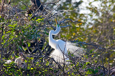 Egret, Green Cay Wetlands, Boynton Beach, Fla., March 9, 2014