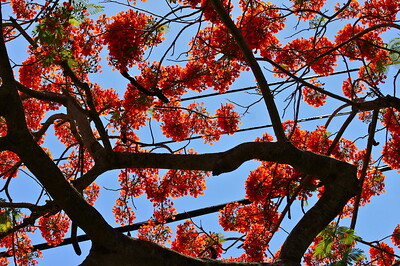 """Royal Dance."" Royal Poinciana Tree, Cooper City, Fla, May 2015."