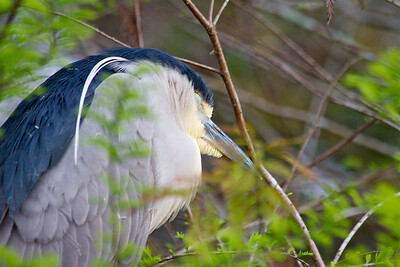 (A sleepy) Black-crowned night heron, Green Cay Wetlands, Boynton Beach, Fla., January 2015.