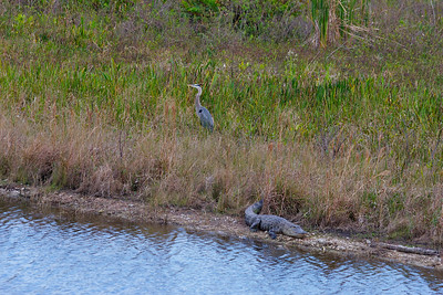 A Great Blue Heron and an alligator named Lenny walk into a bar... or something like that, lol!