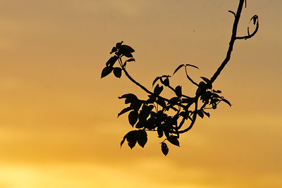 Leaves of my favorite Gumbo Limbo Tree at  sunset, Pembroke Pines, Fla., November 2014.