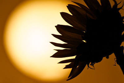Sunflower not in the sun, March 2015.
