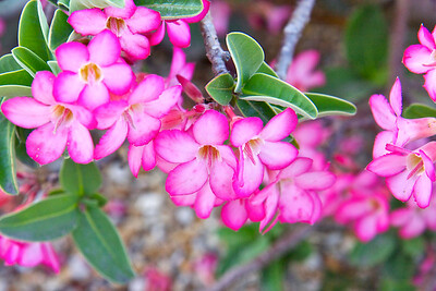 Desert rose, Fairchild Tropical Botanic Garden, March 2015.